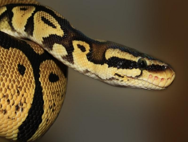 Hyderabad: Youth poses with smuggled python on Facebook, booked