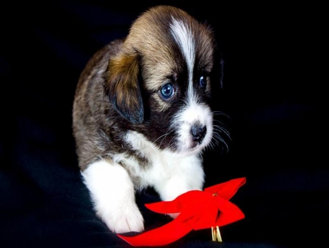 Dogs' cuteness peak at 8 weeks, says study