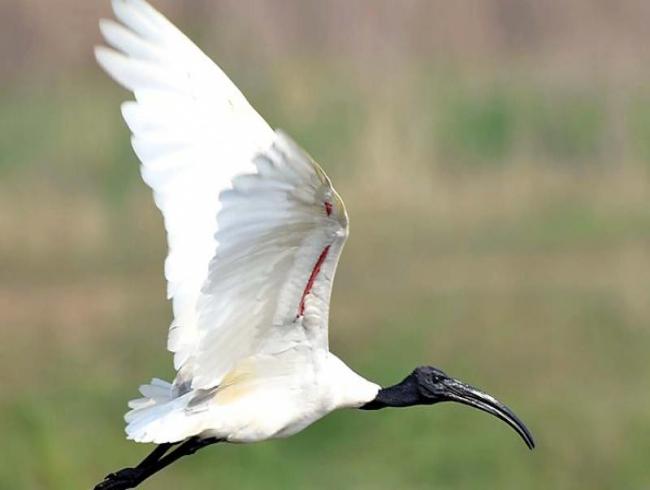 'Asian waterbird census' in Kovai