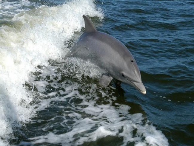 Dolphins love watching television too, finds study