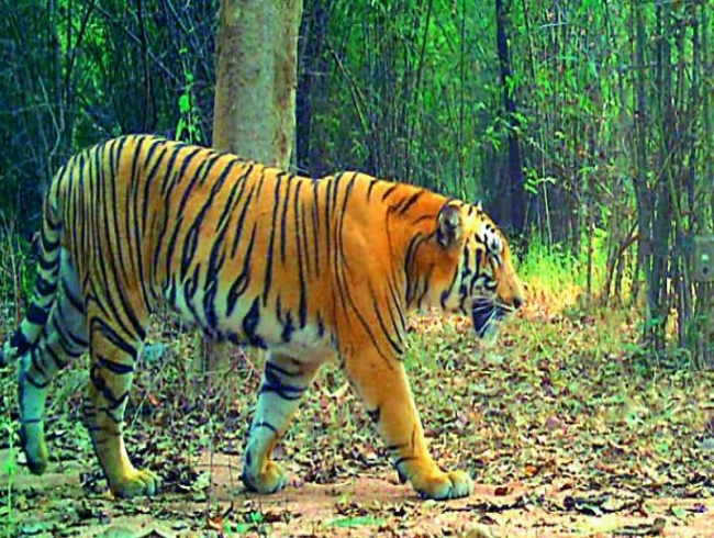 Tigers coming close to residential areas